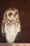 Closeup portrait of an owl.  Asio flammeus Stock Photography