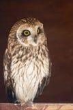 Closeup portrait of an owl.  Asio flammeus Stock Photography
