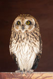 Closeup portrait of an owl.  Asio flammeus Royalty Free Stock Photos