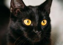 CloseUp Portrait Peaceful Black Female Kitten Cat Stock Images