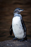 Closeup portrait of penguin on a rock in the Stock Photos