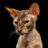 Closeup Portrait Peterbald Sphynx Cat in front of Black Royalty Free Stock Image