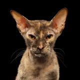 Closeup Portrait Peterbald Sphynx Cat in front of Black Stock Image