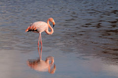 Closeup portrait of pink flamingo Royalty Free Stock Images