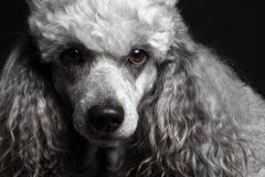Close-up portrait poodle. Close-up portrait dog poodle on the black background Stock Photography