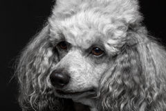 Closeup portrait poodle. Closeup portrait dog poodle on the black background Royalty Free Stock Images