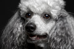 Closeup portrait poodle Stock Images