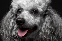 Closeup portrait poodle. Closeup portrait dog poodle on the black background Stock Images