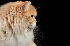 Closeup Portrait of Red big Persian Cat in Profile view on black Royalty Free Stock Photos