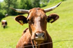 Closeup portrait of a red. brown cow looking at camera, at eco organic farm royalty free stock photos