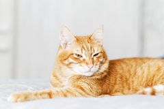 Closeup portrait of red cat lying on a bed. And looking away with a frown against grey background. Shallow  ginger domestic mammal animal cute fluffy nap pet stock photo
