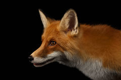 Closeup Portrait of Red Fox in Profile Isolated on black Royalty Free Stock Image