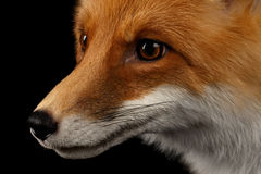 Closeup Portrait of Red Fox in Profile Isolated on black Stock Photos