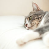 Closeup portrait of resting cat Royalty Free Stock Image