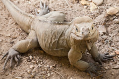 Closeup portrait of Rhinoceros Iguana lizard Royalty Free Stock Images