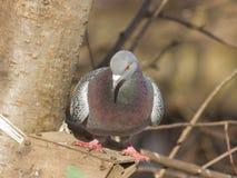 Closeup portrait of Rock Dove, Columba livia, at birdfeeder in forest, selective focus, shallow DOF.  Stock Photos