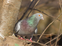 Closeup portrait of Rock Dove, Columba livia, at birdfeeder in forest, selective focus, shallow DOF.  Royalty Free Stock Photography