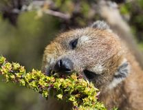 Closeup portrait of a Rock Hyrax Procavia capensis in South Africa. Cape town, Table mountain. Dassie stock images