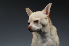 Closeup Portrait Sadly Chihuahua dog on Blue background Stock Photo