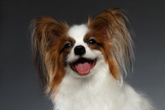 Closeup Portrait of Satisfied White Papillon Dog on black Royalty Free Stock Image