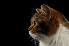 Closeup Portrait Scottish Cat Face, Isolated Black Background, in Profile Stock Photography