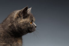 Closeup Portrait of Scottish Cat on Gray Background in Profile Royalty Free Stock Image