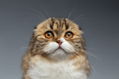 Closeup Portrait of Scottish Fold Cat on Gray Stock Photography