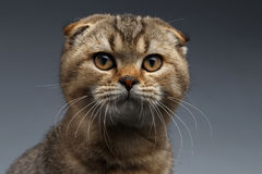 Closeup Portrait of Scottish Fold Cat Looking in Camera on Gray Stock Image