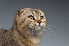 Closeup Portrait of Scottish Fold Cat Looking up on Gray Royalty Free Stock Photo