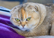 Closeup Portrait of Scottish Fold Stock Photography