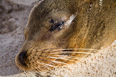 Closeup portrait of sea lion relaxing in a beach Stock Images