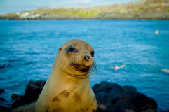 Closeup portrait of sea lion's face galapagos Stock Image