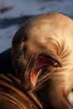 Closeup portrait of sea lion sunbathing in a beach Stock Image