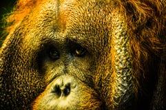 Portrait of orangutan. Closeup portrait of serious looking orangutan Royalty Free Stock Photos