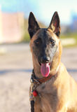 Closeup portrait of shepard dog Stock Image