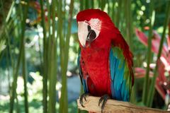 Closeup portrait shot of a Scarlet Macaw red parrot Royalty Free Stock Photo