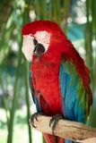 Closeup portrait shot of a Scarlet Macaw red parrot Stock Image