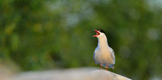 Closeup Portrait of Shouting  Adult common tern  on the green grass background. Closeup Portrait of Shouting  Common Tern (Sterna hirundo). Adult common tern Stock Photography