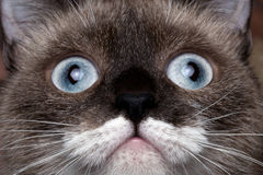 Closeup portrait siamese cat with blue eyes and funny mustache Royalty Free Stock Image