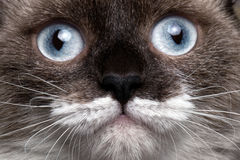 Closeup portrait siamese cat with blue eyes Royalty Free Stock Photography