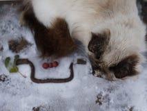 Closeup portrait of siberian cat Royalty Free Stock Photo