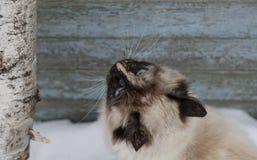 Closeup portrait of siberian cat Stock Photo