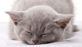 Closeup portrait of a sleeping cat Royalty Free Stock Photos
