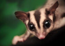 Closeup portrait of small  sugar glider Royalty Free Stock Photos