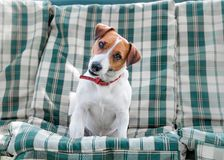 Closeup portrait of small white and red dog Jack russell sitting on green blue checkered pads or cushion on Garden bench or sofa o. Utside at sunny day. The royalty free stock photo