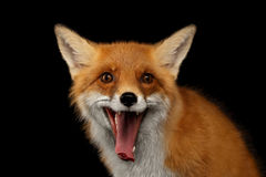 Closeup Portrait of Smiled Red Fox Isolated on black Stock Photography