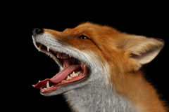 Closeup Portrait of Smiled Red Fox Isolated on black Stock Photos