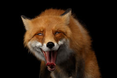 Closeup Portrait of Smiled Red Fox Isolated on black Stock Images
