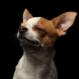 Closeup Portrait of Smiling Chihuahua Dog on black Royalty Free Stock Photos