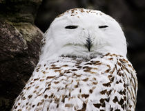 Closeup portrait of a Snowy Owl. Closeup portrait of a sleepy Snowy Owl royalty free stock image